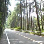 檜原街道杉並木