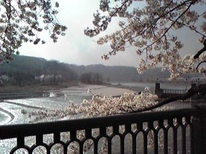 羽村取水堰の桜