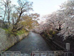 玉川上水取水口の桜