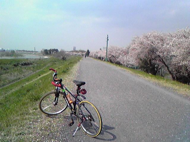 多摩サイ水道橋桜