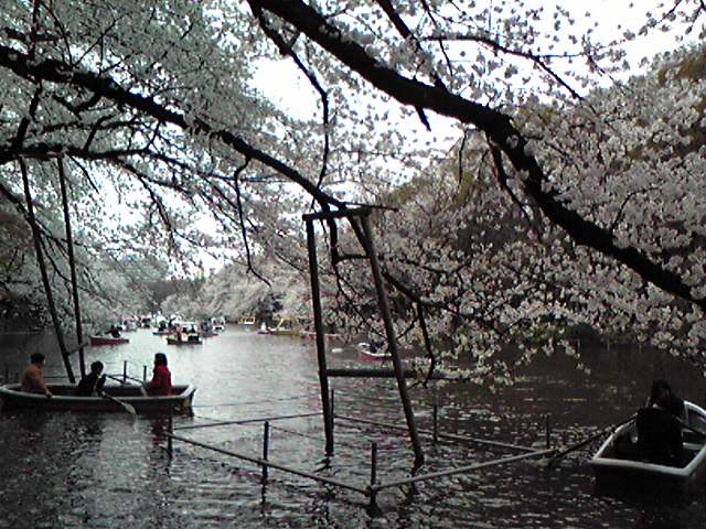 井の頭公園の桜2008アップ