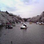 井の頭公園の桜2008