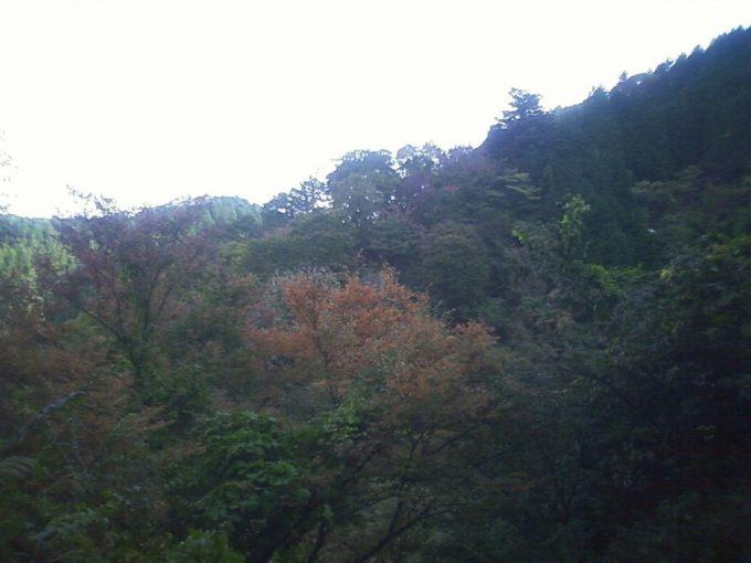 杉林の中の紅葉