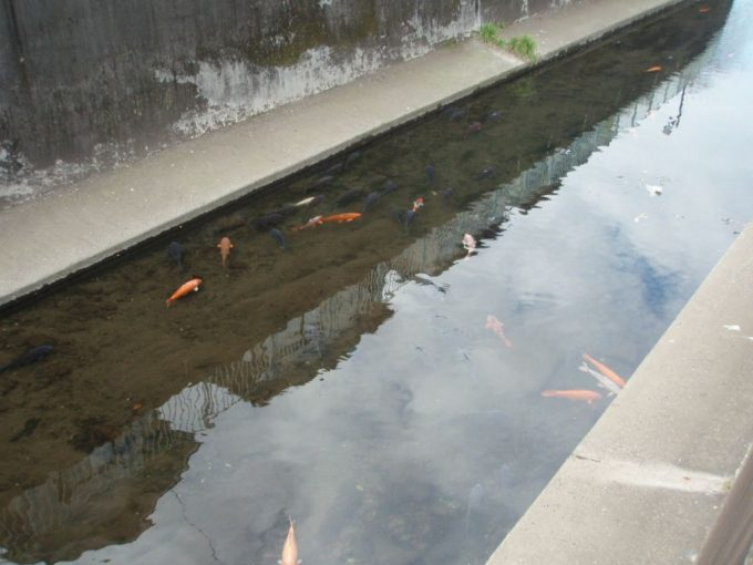 神田川を泳ぐ鯉