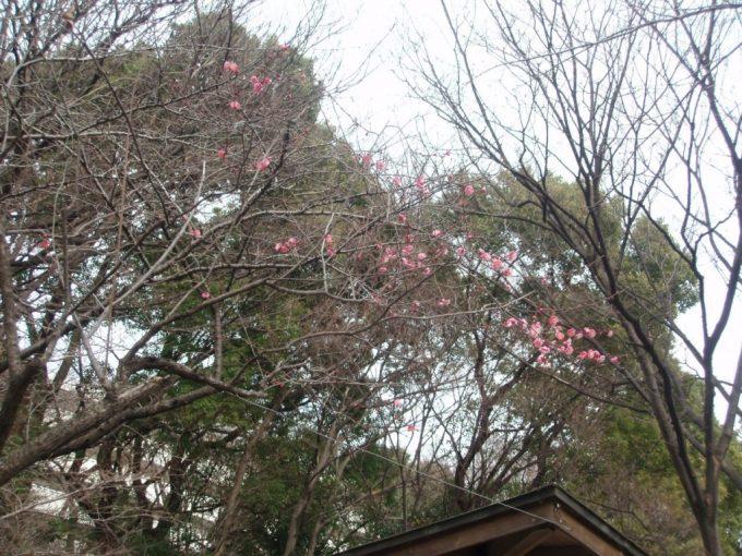 神田川沿いに咲く新春の梅