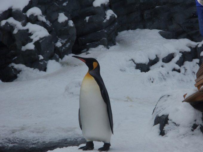 冬の旭山動物園雪の中元気なペンギン