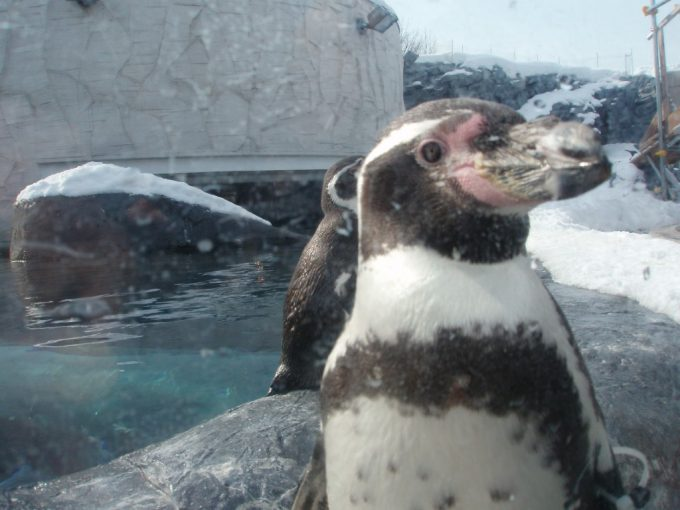 旭山動物園ペンギンのアップ