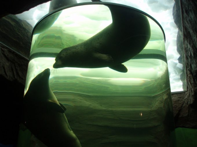 旭山動物園パイプの中を泳ぐ2頭のアザラシ