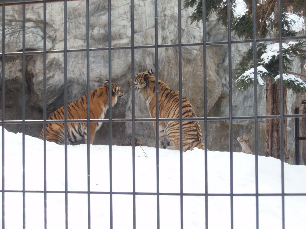 冬の旭山動物園トラ