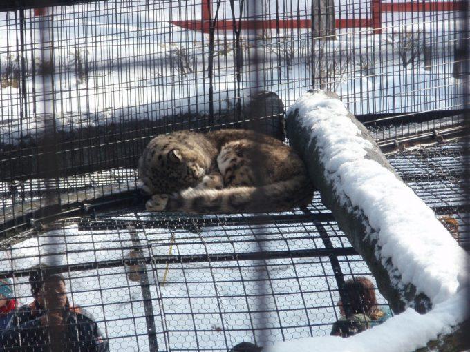 冬の旭山動物園ユキヒョウ
