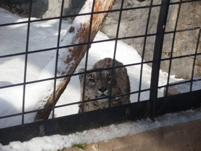 冬の旭山動物園ユキヒョウの精悍な顔立ち