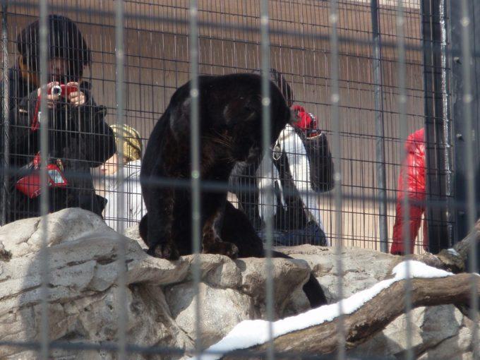 冬の旭山動物園黒ヒョウ