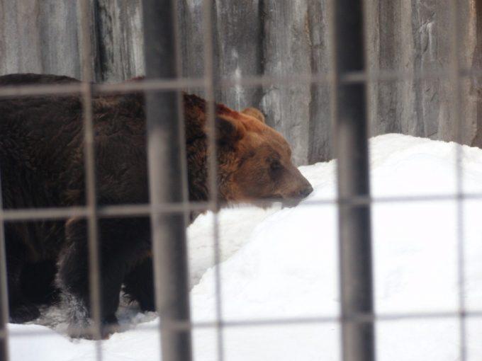 冬の旭山動物園ご当地猛獣ヒグマ