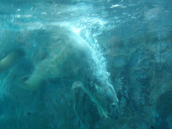 旭山動物園シロクマダイブの瞬間