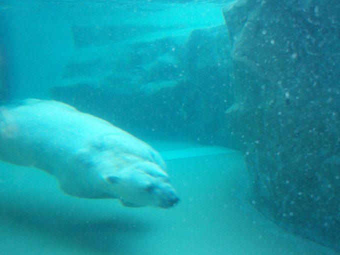 旭山動物園泳ぐシロクマの姿