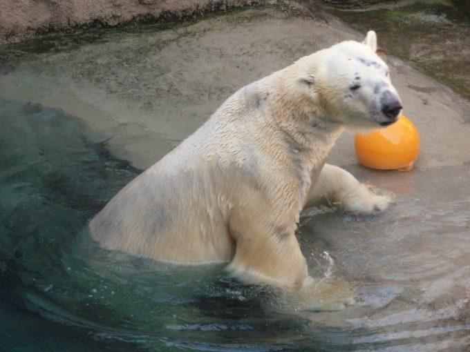 旭山動物園水から上がるシロクマ