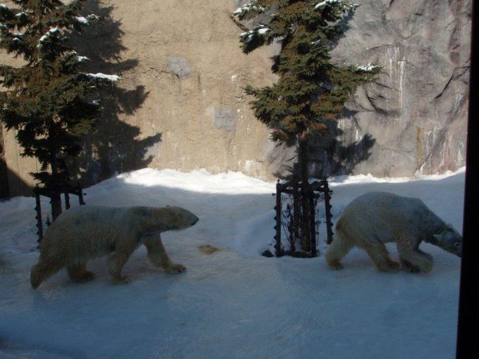 冬の旭山動物園雪で元気なシロクマ