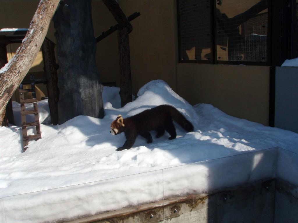 冬の旭山動物園レッサーパンダ