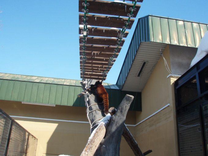 旭山動物園吊橋を渡ろうとするレッサーパンダ