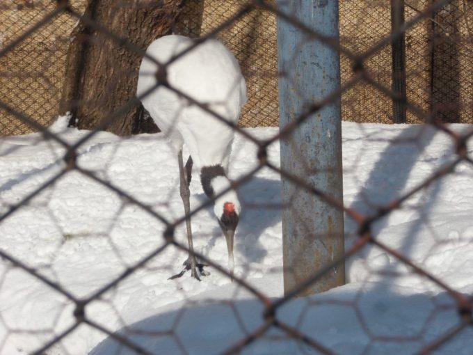 旭山動物園丹頂