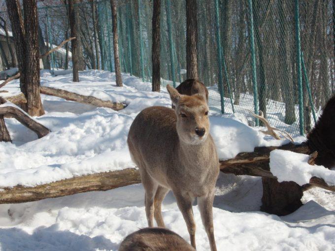冬の旭山動物園エゾシカメス