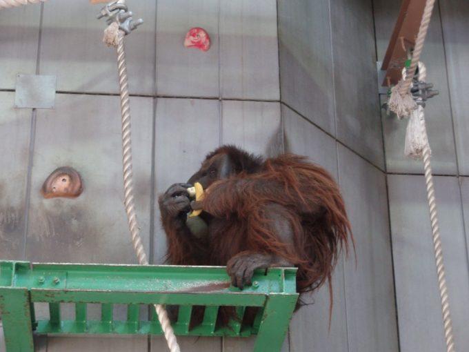 旭山動物園バナナを食べるオランウータン