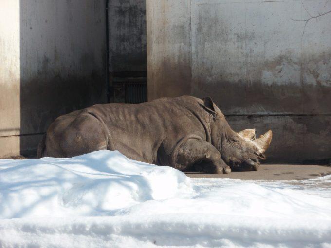 冬の旭山動物園お年寄りのサイの日向ぼっこ