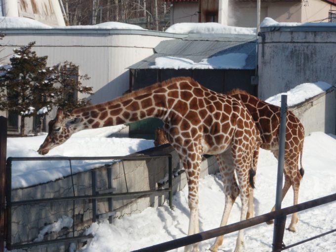 旭山動物園雪の中のキリン