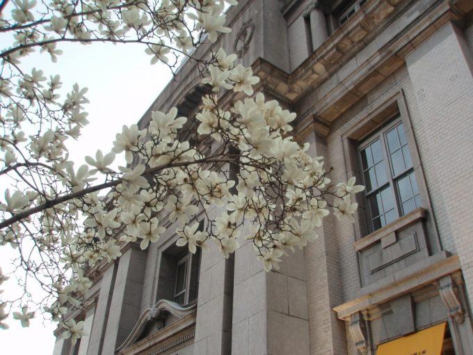 神戸古い洋館とハクモクレン