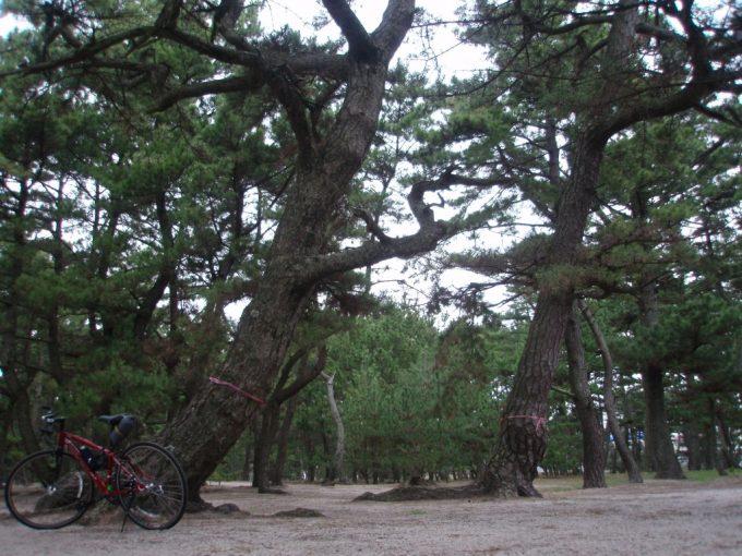 淡路島慶野松原若い松と老木