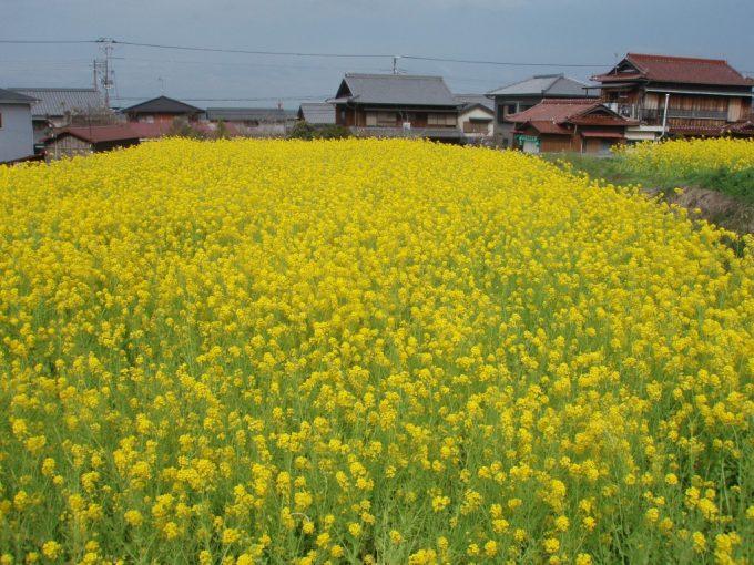 淡路島一面の菜の花畑