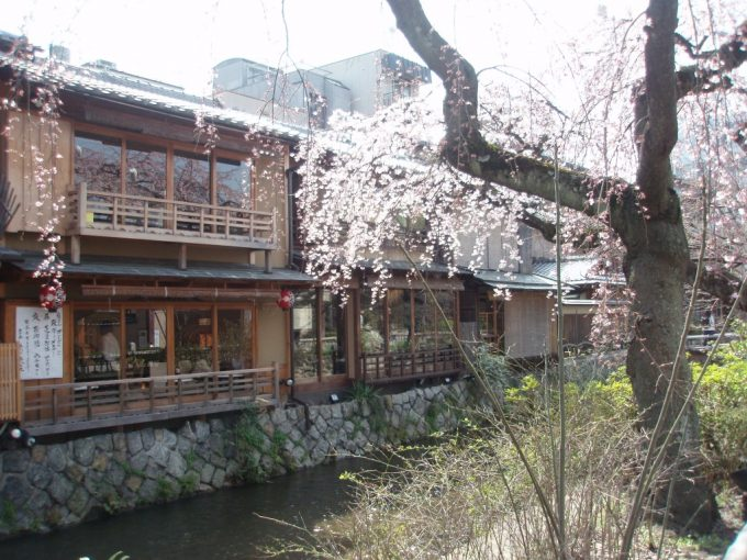 祇園白川沿いの桜