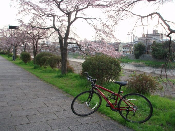 愛車と夕方の鴨川桜