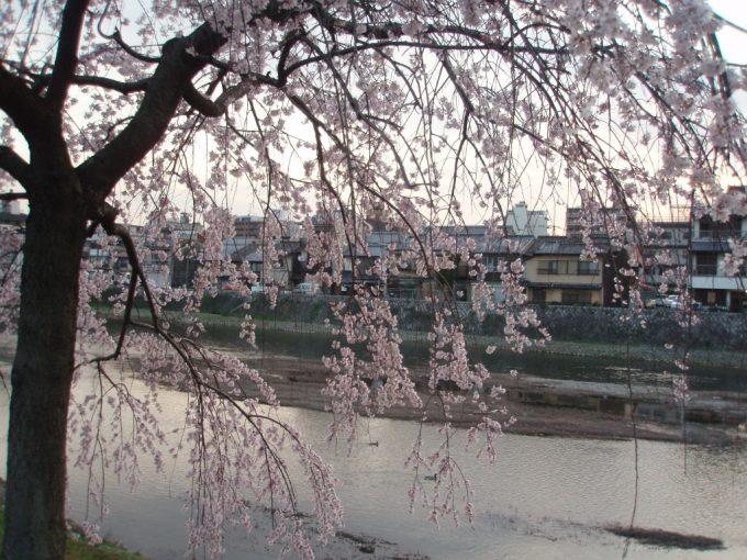 夕暮れせまる鴨川沿いの桜