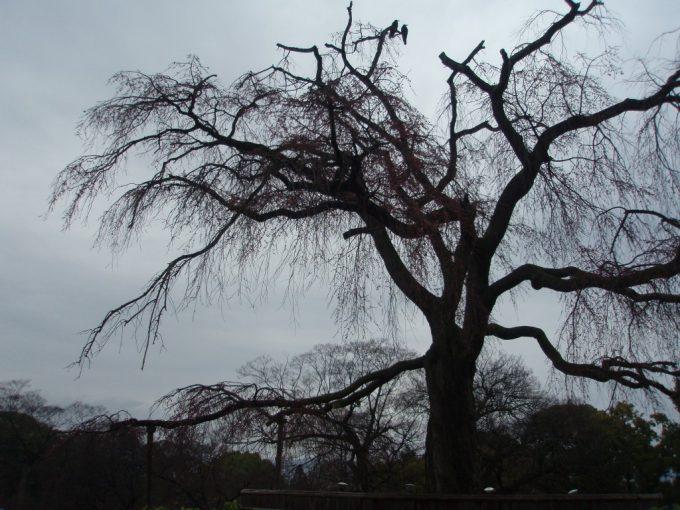 円山公園開花前の枝垂れ桜
