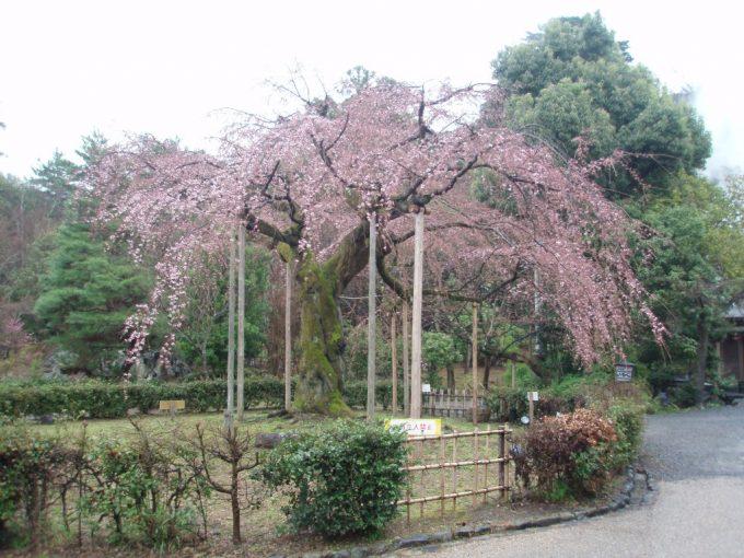 咲き誇る円山公園の枝垂れ桜