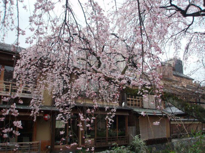 満開迫る祇園の桜