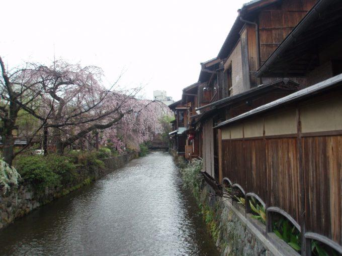 雨の祇園桜