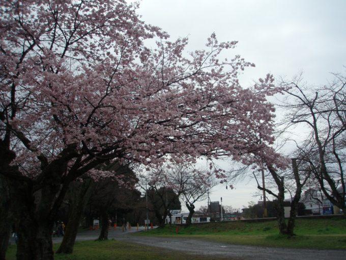 嵐山桂川河川敷の桜