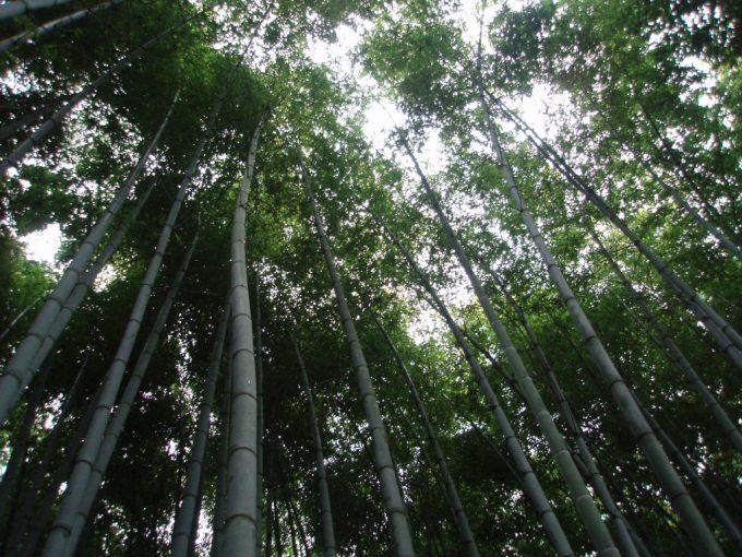 京都嵐山空へと伸びる竹