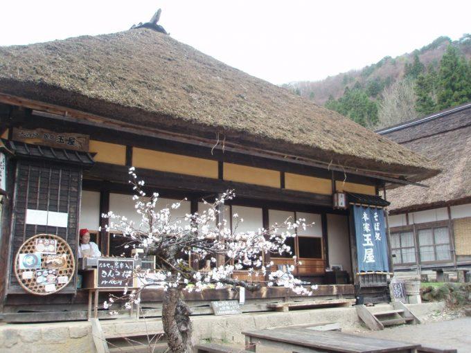 大内宿茅葺屋根と桜