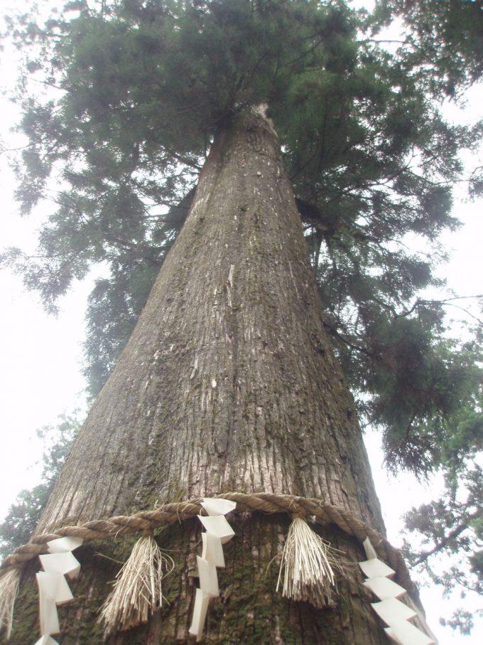 高尾山杉の巨木