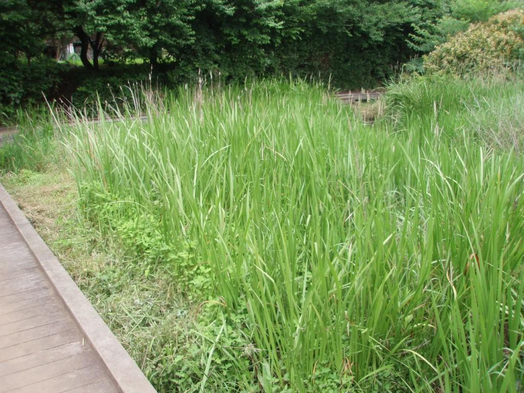 三鷹市ほたるの里湿地
