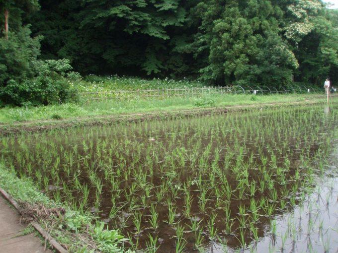 三鷹市ほたるの里湧水で満たされた田んぼ