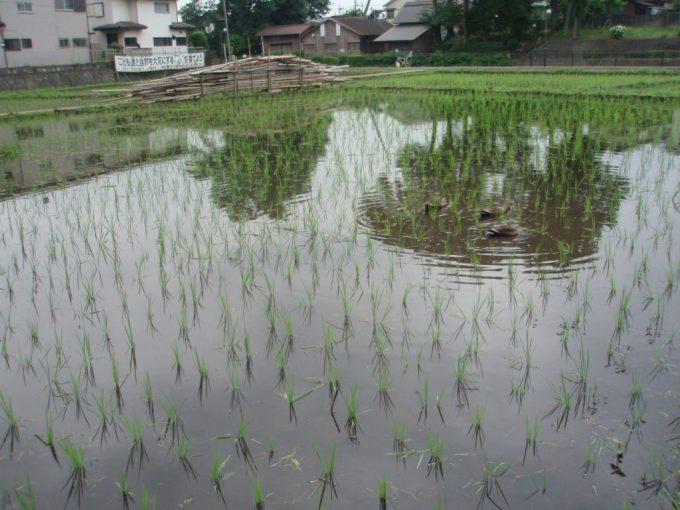 三鷹市ほたるの里植えたての田んぼを泳ぐ鴨