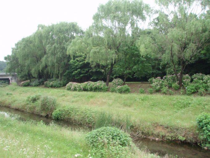 野川の土手に咲くアジサイ