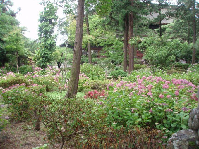 善光寺境内の紫陽花