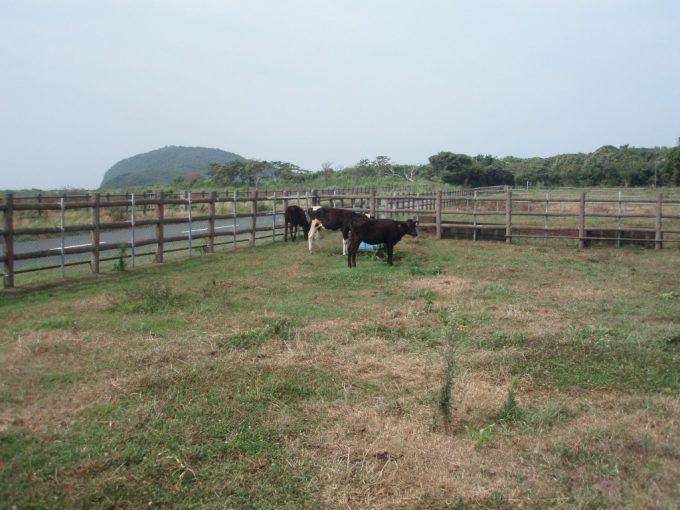 伊豆大島ぷらっとハウスの牛