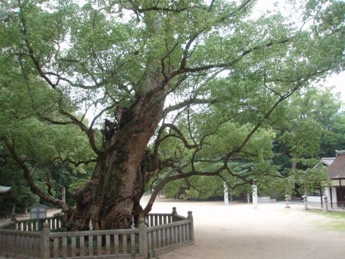 大三島大山祇神社の巨木