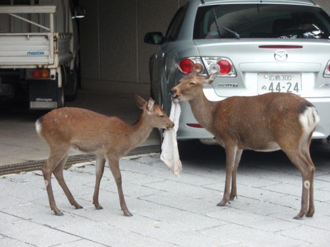 タオルを食べる厳島の鹿